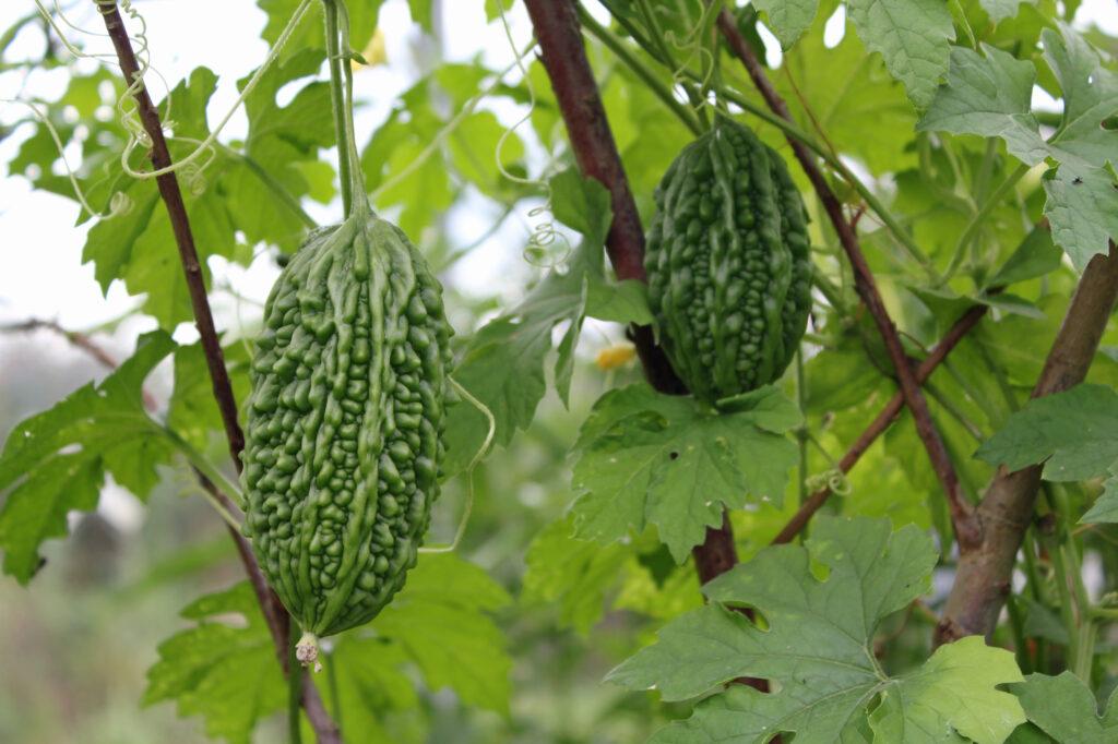 Bittermelonen sind im asiatischen Raum beliebtes Nahrungs- und Heilmittel.