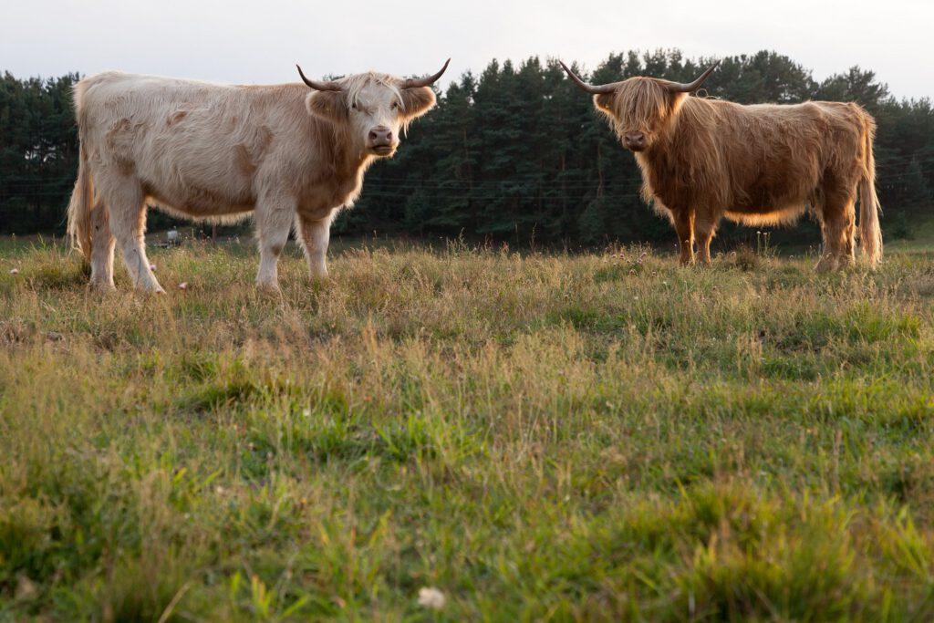 Rinder von der Solawi Klein Trebbow.